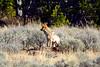1416 coyote elk carcass