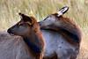 1045 elk calves