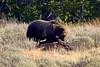 1232 grizzley elk carcass