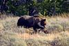 1223 grizzley elk carcass