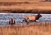 1119 bull elk crossing madison river fly fishermen