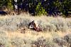 1360 coyote elk carcass