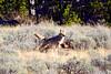 1406 coyote elk carcass
