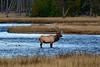 1081bull elk madison river