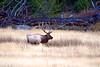 5533 bull elk