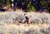 1354 coyote elk carcass