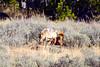 1375 coyote elk carcass