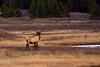 1074 bull elk madison river