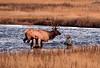 1116 bull elk crossing madison river fly fishermen