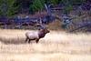 5539 bull elk