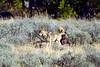 1435 coyote elk carcass