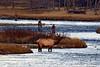 1077 bull elk madison river