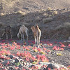 461 - <br /> Day 13 - <br /> Picturesque camels of the Hogar  <br /> (Page 31-Image 11)