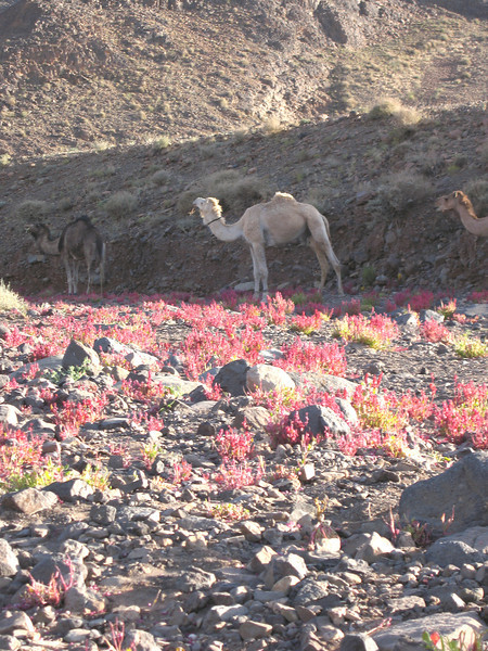 462 - <br /> Day 13 - <br /> Picturesque camels & flora of the Hogar   <br /> (Page 31-Image 12)