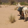 380 - <br /> Day 11 - <br /> In the desert, donkeys need surgical attachments to perform like camels <br /> (Page 26-Image 5)