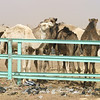 "266 - <br /> Day 8 - <br /> The next morning we trundle off to the ""scenic"" camel market <br /> (Page 18-Image 11)"