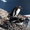 Nesting Gentoo penguins and chick on Cuverville Island, mainland Antarctic peninsula