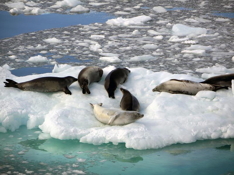 Leopard seals on an ice flow in Neko Harbour, Mainland Antarctic Peninsula