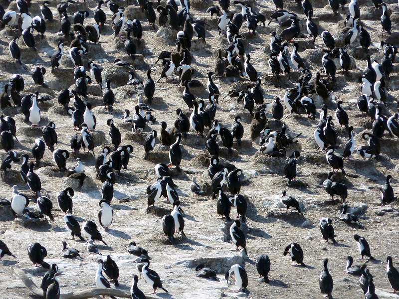 Unrelated to penguins, despite their appearance, black shags & imperial cormorants on a rocky islet near Lapataia Bay, Tierra del Fuego Patagonia, Argentina