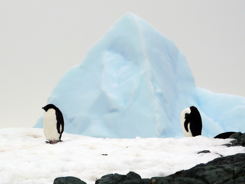 Stoic Gentoo penguins guard the blue ice pyramid on Detaille Island, Antarctic peninsula