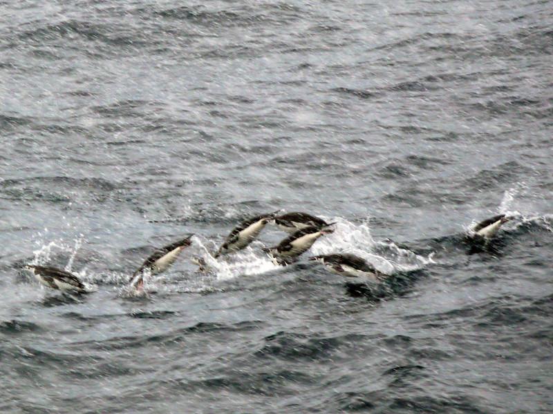 Porpoising penguins in the sea off the Palmer Coast, Antarctic peninsula