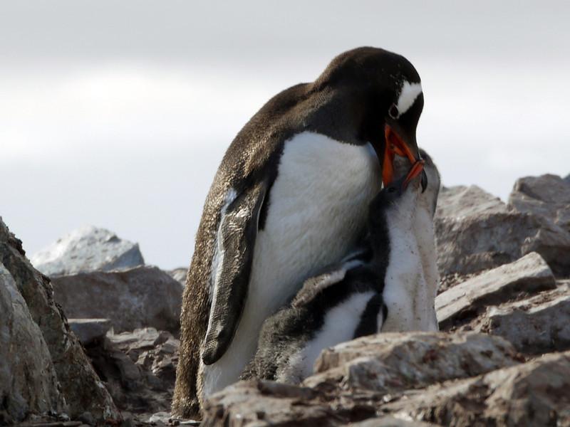 Hungry Gentoo penguin feeding chick on Cuverville Island, mainland Antarctic peninsula