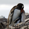 Hungry Gentoo penguin feeding chick on Cuverville Island, mainland Antarctic peninsula