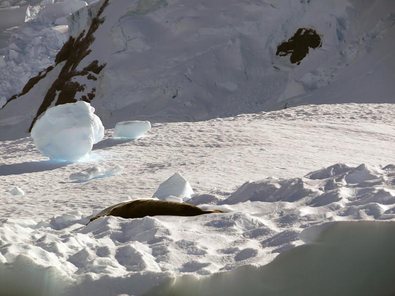 Leopard seal and loose snowforms in Neko Harbour, Mainland Antarctic Peninsula