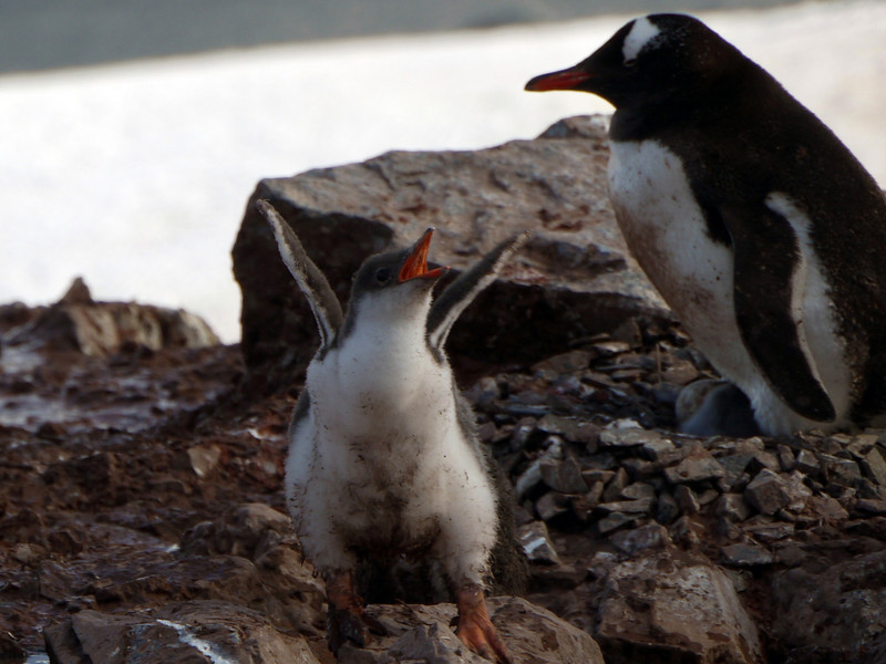 Jubilant Gentoo penguin chick on Cuverville Island, mainland Antarctic peninsula