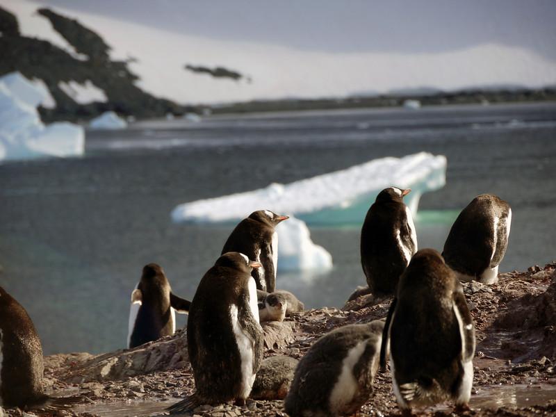 Gentoo penguins on Cuverville Island, mainland Antarctic peninsula