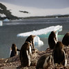 Gentoo penguins on Cuverville Island, mainland Antarctic peninsula