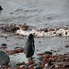 0211 - Half Moon Island - 2011-02-19 - P1050677