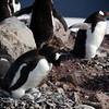 0640 - Cuverville Island - 2011-02-20 - P1060176