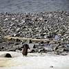 0167 - Half Moon Island - 2011-02-19 - P1050664