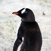 0525 - Neko Harbour - 2011-02-20 - P1060089