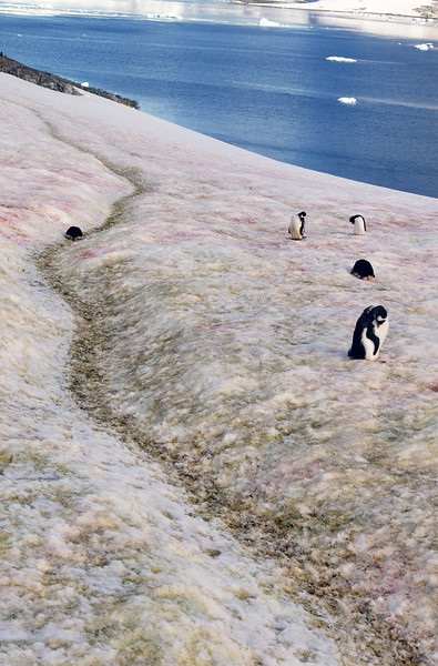 "Afterwards. I join the other groups for a steep hike up a rocky slope on the island itself, for a view of a reasonably large Gentoo penguin colony with nesting mothers and young chicks.  Though the penguins nest on piles of rocks that they gather to create their ideal conditions, the surrounding areas are snowy and coloured from bright pink to pea green hues, stained from various types of algae and penguin guano that takes on various colours depending on their diet at the time.  (Pink for a primarily Krill based diet; White for fish or squid; Green for the colour of bile from fasting birds that have not been able to eat recently, whilst confined to the nest, raising their chicks).<br />  <br /> So many picturesque shots of penguins, nesting with chicks and icebergs in the background, floating around the bay!<br /> <br /> That night, we make rapid progress to the south, passing between Booth Island and the mainland of the Antarctic peninsula, through the ""Inside Passage"" into the narrow Lemaire Channel and Penola strait towards Crystal Sound.<br /> <br /> Each night I am totally exhausted; unable to even do simple log entries or view the day's photos.  It's lucky if I can manage to stay awake past 9.30PM.  Can't even stay awake to read or watch a movie, the days' activities though seemingly simple, are really quite demanding, and by the end, take their toll accordingly.  I am still not in the routine of the ship."