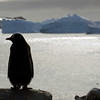 Lone Gentoo penguin stands sentinel on Cuverville Island, mainland Antarctic peninsula