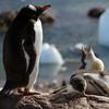 Hungry Gentoo penguin chick at Neko Harbour, mainland Antarctic peninsula