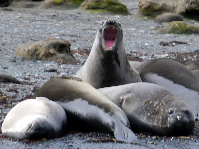 Angry elephant seal on the beach at Cooper Bay, South Georgia
