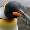 King penguin on the beach in the rain at Right Whale Bay, South Georgia