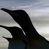 King penguin silhouettes on the beach at sunrise on the Salisbury Plain, South Georgia