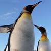 King penguins on the Salisbury Plain, South Georgia
