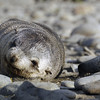 Fur seal pup blends in with the rocks on the beach at the Salisbury Plain, South Georgia