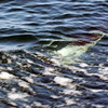 One of the world's smallest dolphins underwater at Carcass Island, Falkland Islands