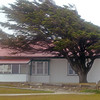 The tree of prevailing winds in Stanley, Falkland Islands