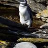Lonely magellanic penguin on Carcass Island, Falkland Islands