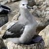 Black browed albatross chick almost ready to leave the nest on New Island, Falkland Islands