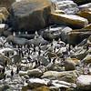 Rockhopper penguin colony on New Island, Falkland Islands