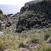 Rockhopper penguin rookery amidst the tussock grass on New Island, Falkland Islands