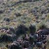 Rockhopper penguins in the tussock grass on New Island, Falkland Islands